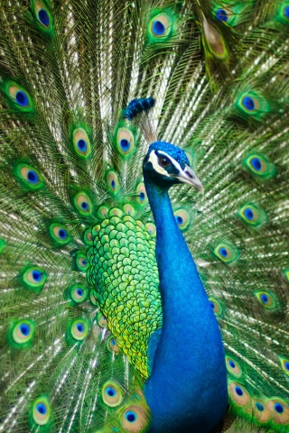 Male Peacock  free mobile wallpapers