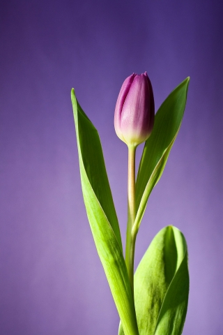 Tulip Purple Flower  free mobile wallpapers