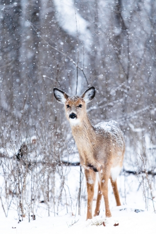 Deer in Snow  free mobile wallpapers
