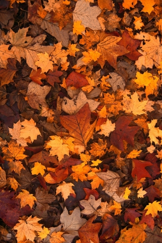 Autumn Leaves  free mobile background