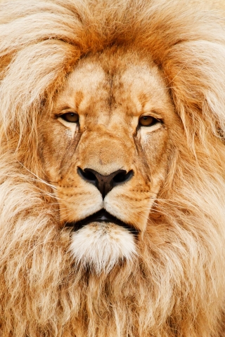 African lion  free mobile wallpapers