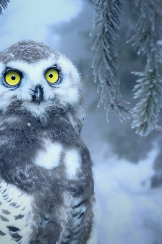 Owl in Snow  free mobile wallpapers