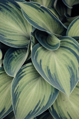 Variegated Leaf  free mobile wallpapers