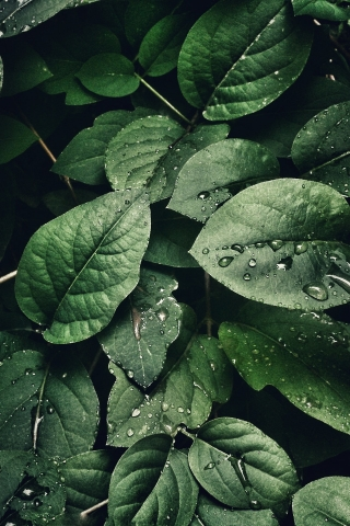Water drops on Green leaves  free mobile background