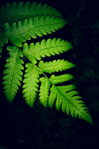 Fern Leaf - iPhone and Samsung Free Background  free mobile wallpapers